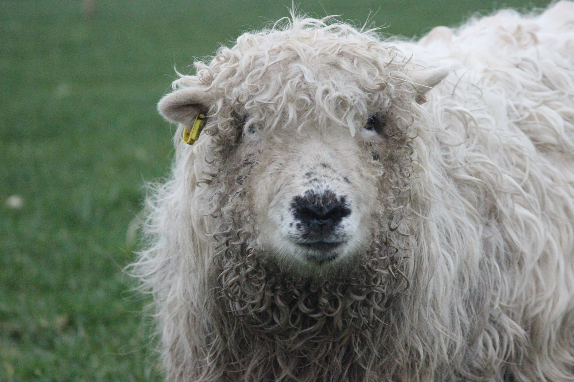 Darty Sheep